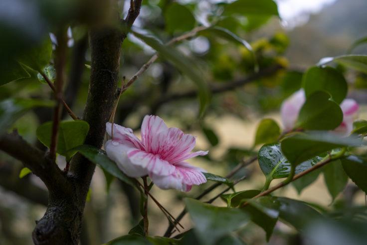 栗林公園桜の斑入りツバキ2