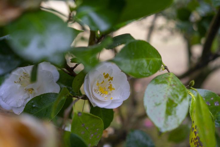 栗林公園桜の白いツバキ2