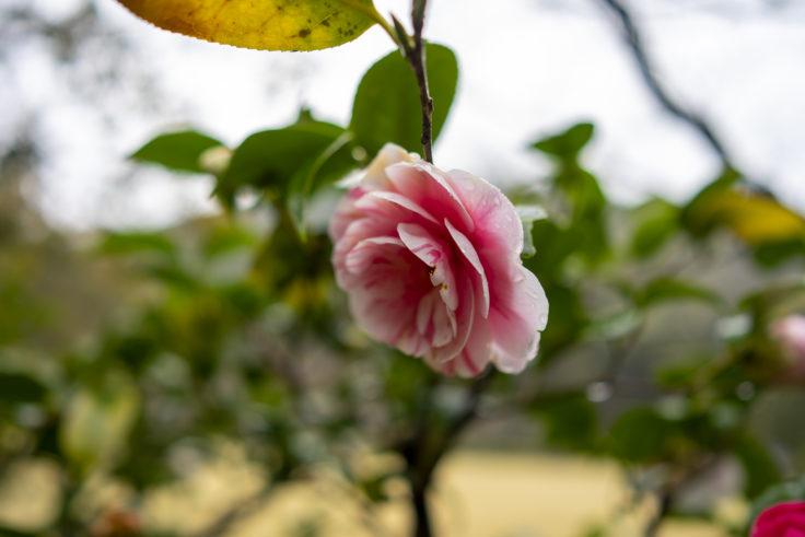 栗林公園桜のピンクのツバキ2