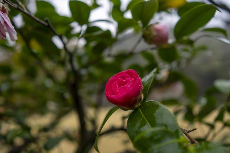 栗林公園桜の赤いツバキ