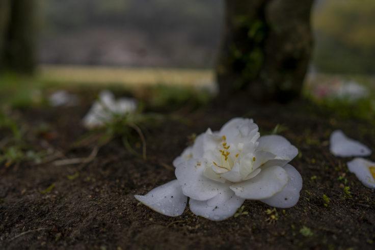 栗林公園桜の散った白いツバキ