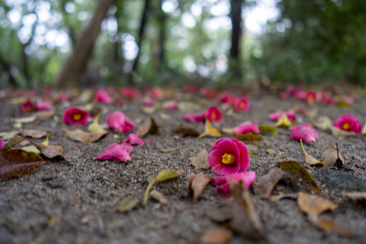 栗林公園桜の散った赤いツバキ
