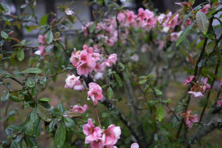 栗林公園のピンクのボケ