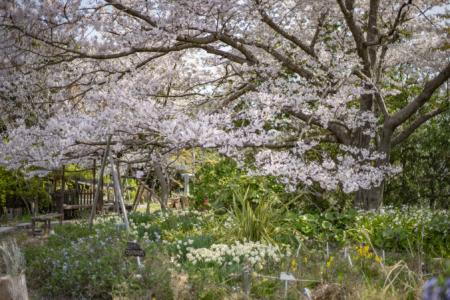 よもみの庭の桜