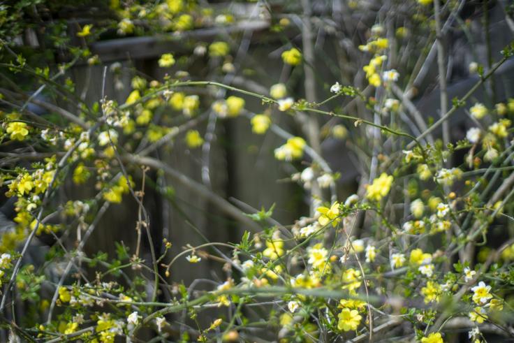 よもみの庭のエニシダ
