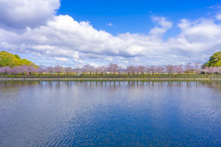 亀鶴公園の桜リフレクション