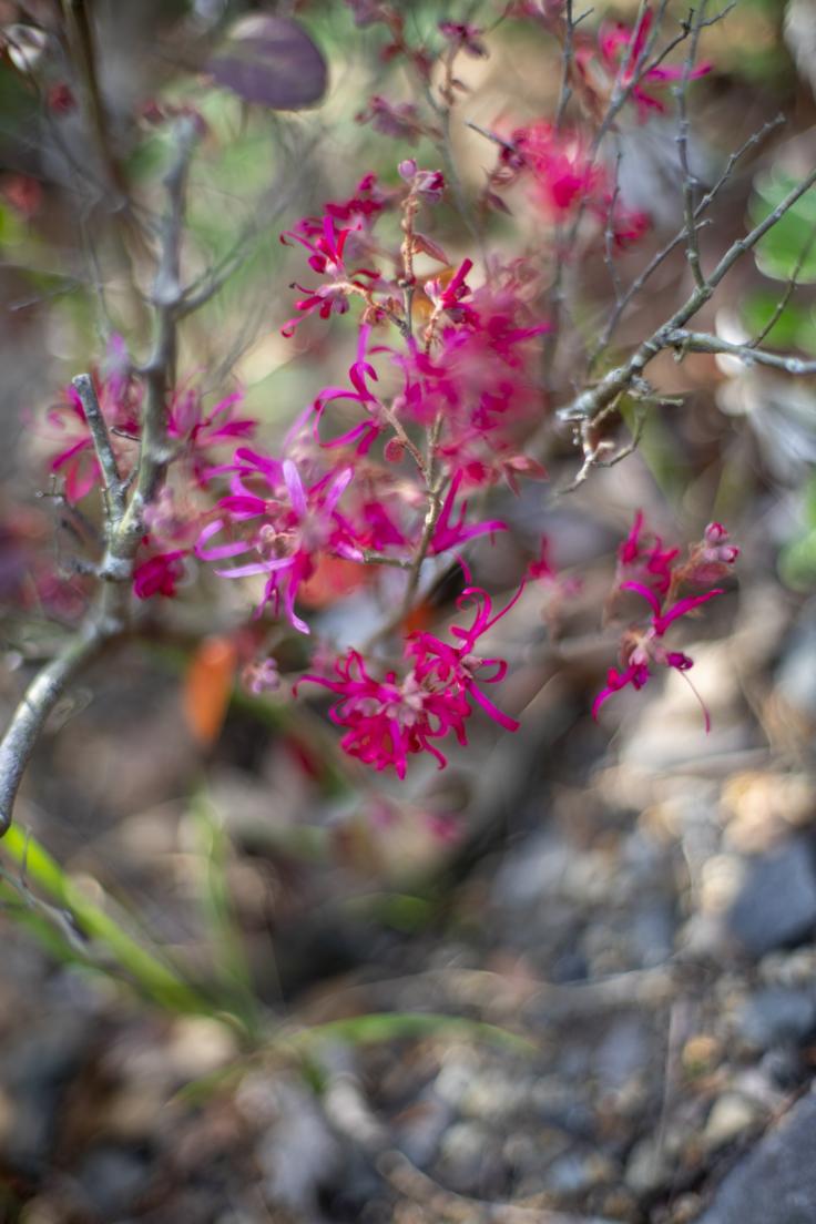 よもみの庭のベニバナトキワマンサク