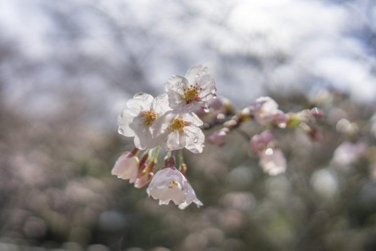亀鶴公園亀島の濡れた桜