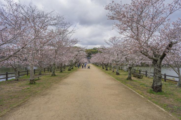 亀鶴公園の桜並木
