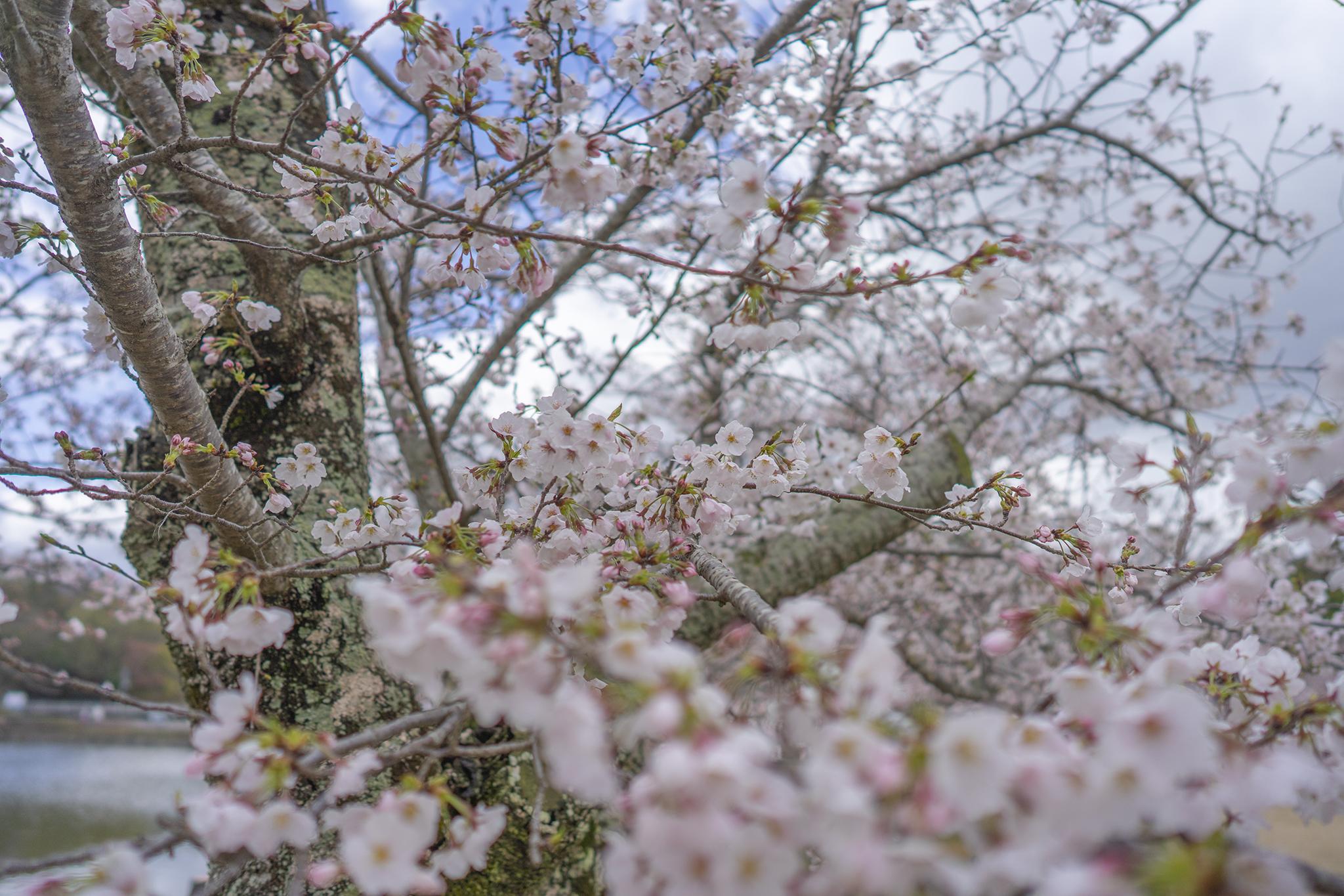 自粛ムードの最中「亀鶴公園」でお花見を。