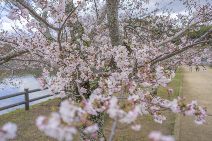 亀鶴公園桜並木の桜2