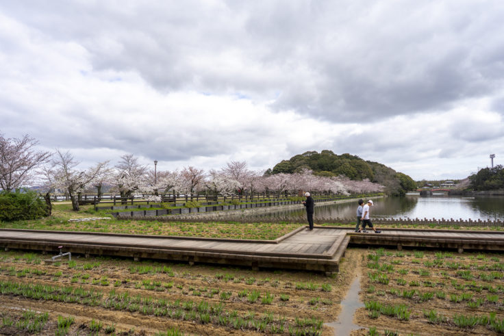 亀鶴公園の桜遠景