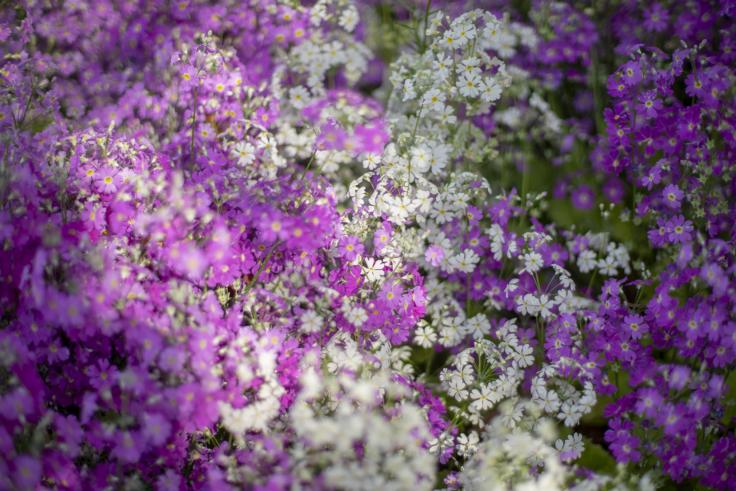 白と紫のサクラソウ