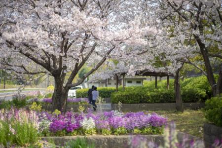 馬篠休憩所の桜
