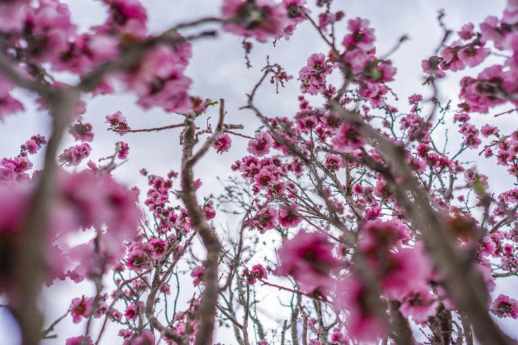 桃の花を下から撮る