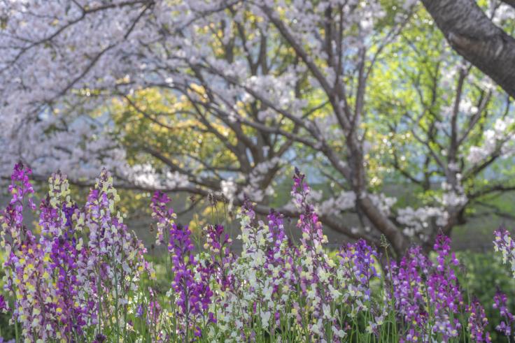 馬篠休憩所の桜とヒメキンギョソウ(リナリア)