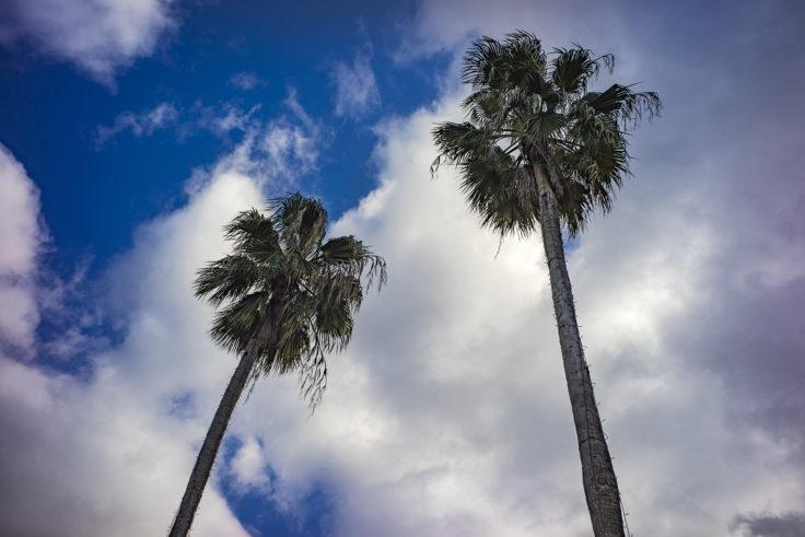 レオマワールドのヤシの木