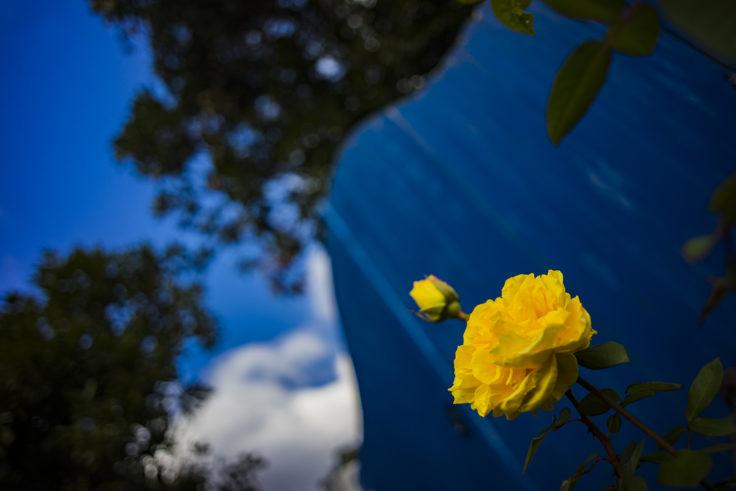 レオマワールドのバラ