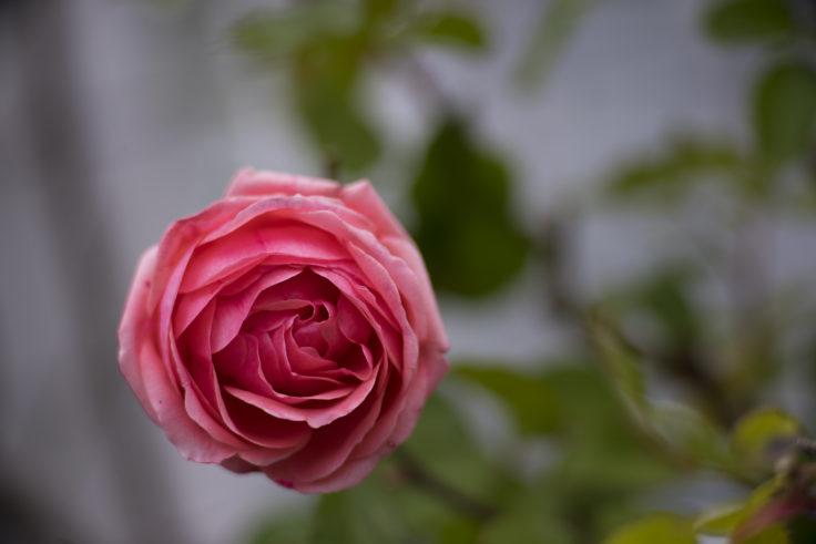 レオマワールドのバラ3