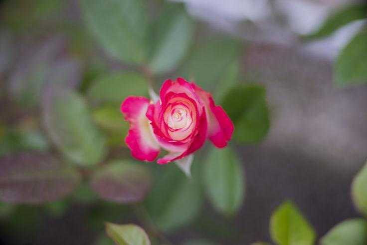 レオマワールドのバラ4