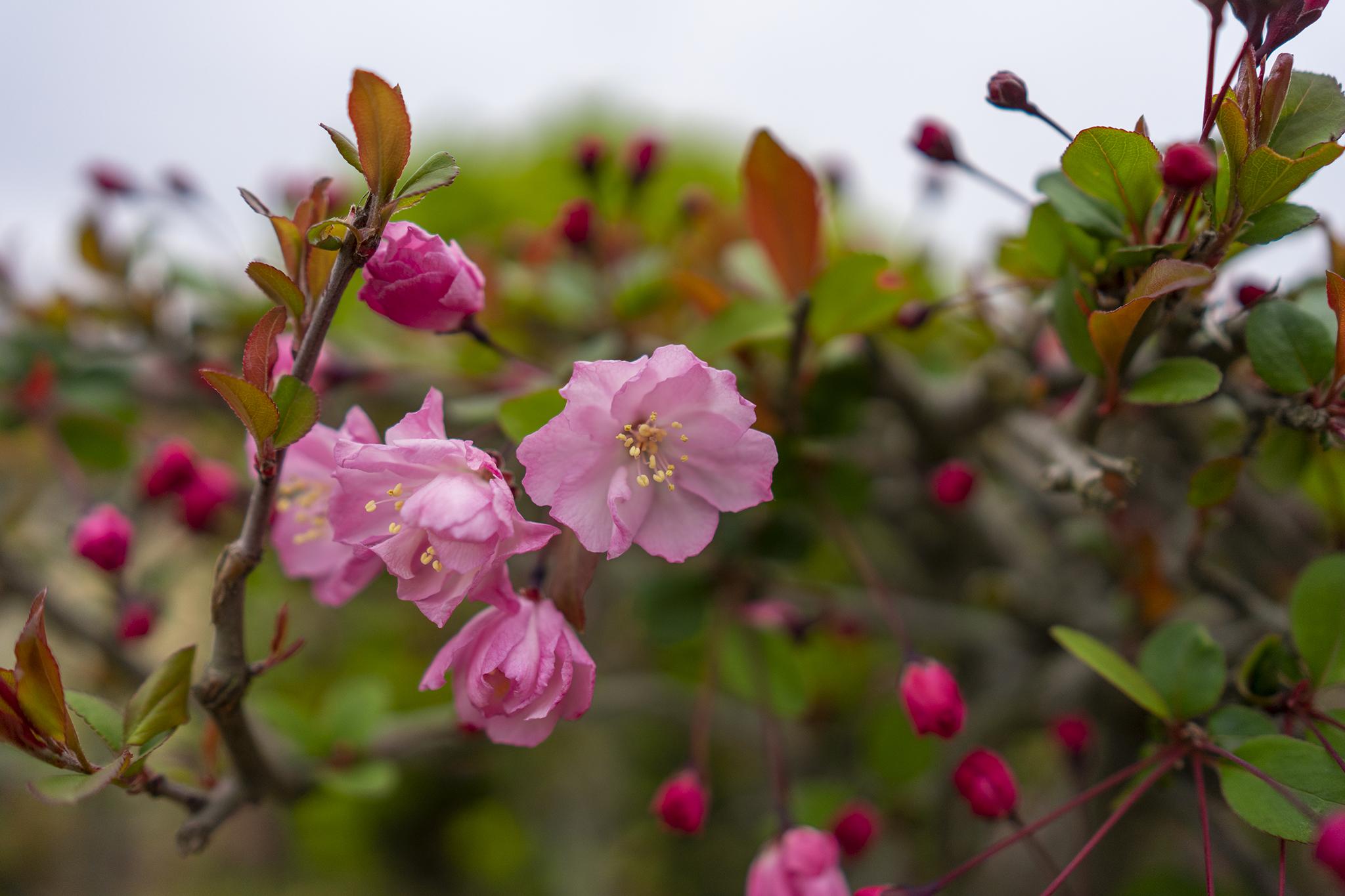 栗林公園に咲くハナカイドウ