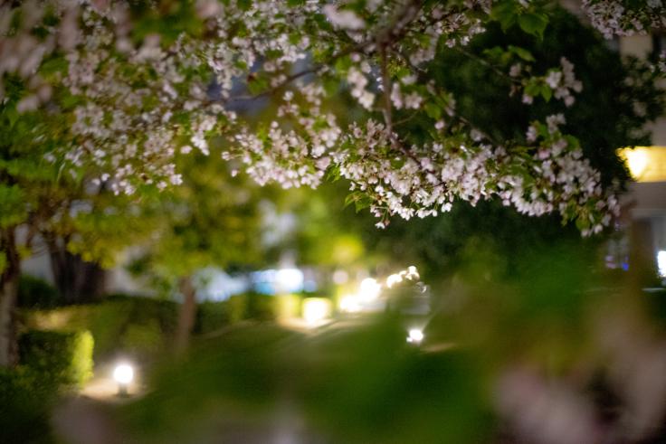 宇多津3号公園の桜