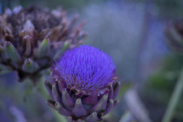 仏生山公園のアーティチョークの花