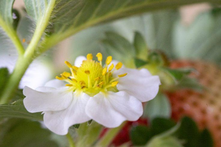 イチゴと花