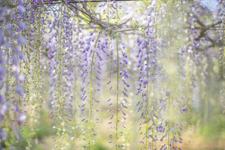 岩田神社の孔雀藤咲きはじめ