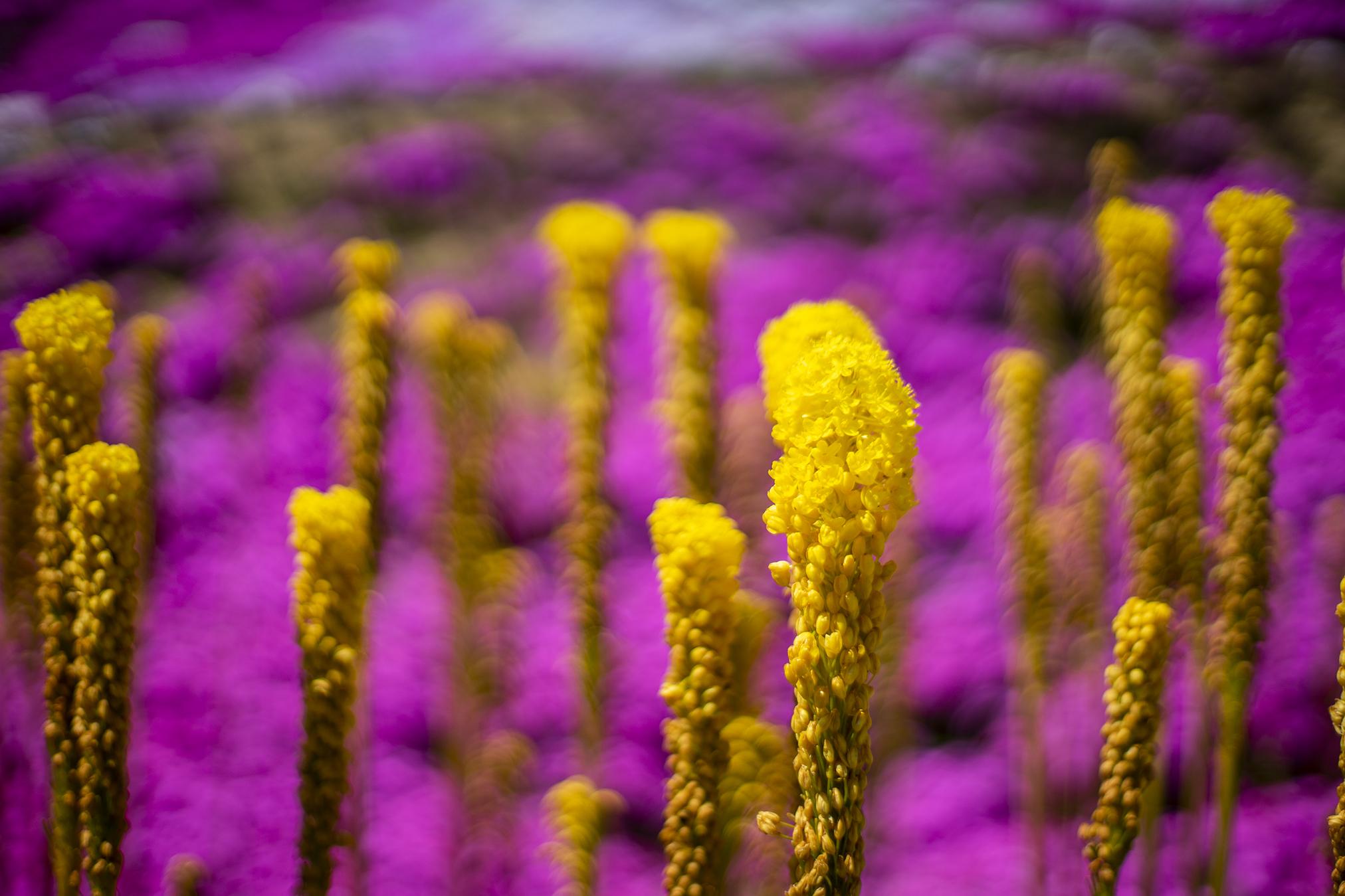 ブルビネラの花言葉と誕生花