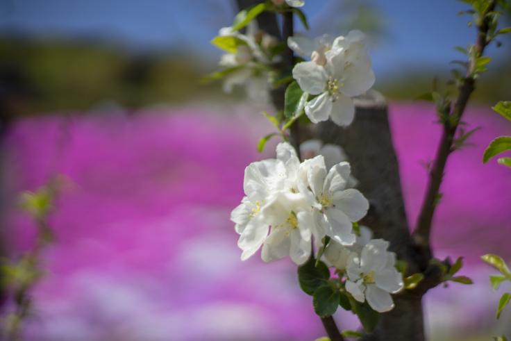 芝桜富士のリンゴの花