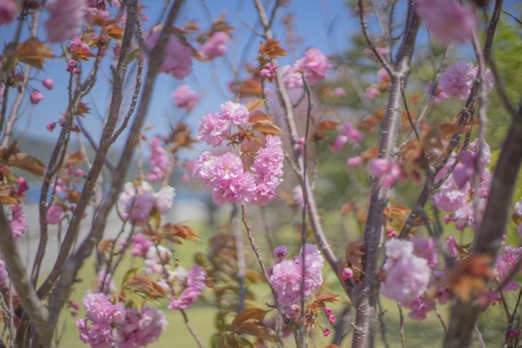 鳴門ウチノ海総合公園の八重桜