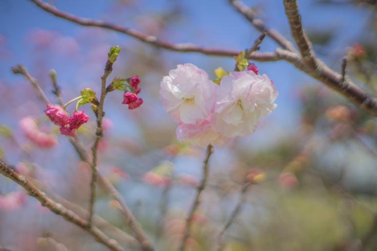 白っぽい八重桜