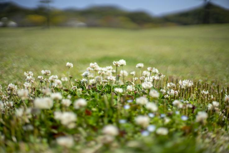 鳴門ウチノ海総合公園のシロツメクサ