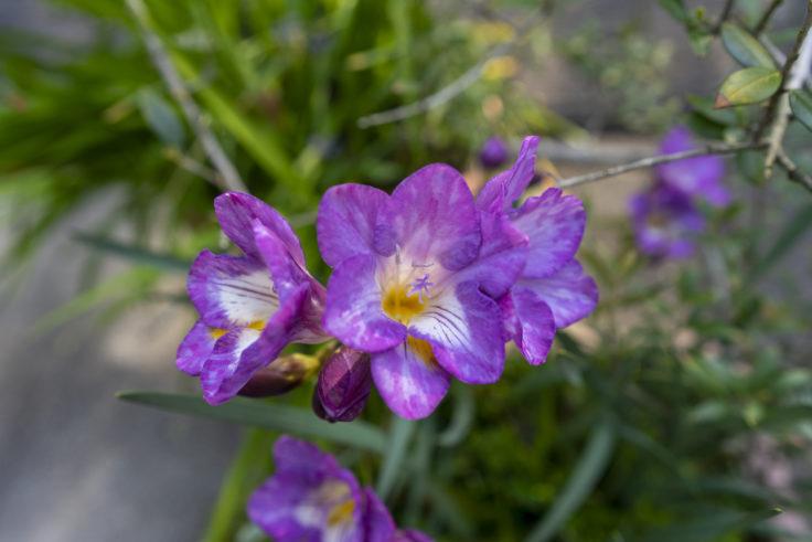 高松市中央公園周辺に咲くフリージア