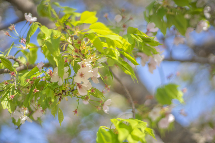 鳴門ウチノ海総合公園のオオシマザクラ