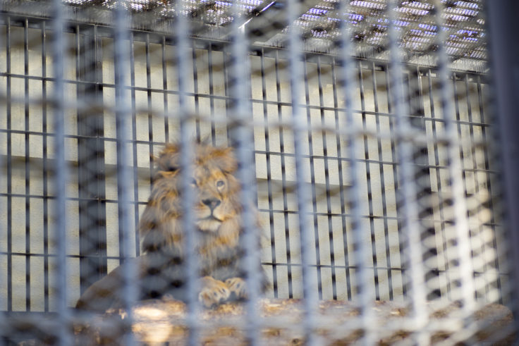 姫路市立動物園のライオン