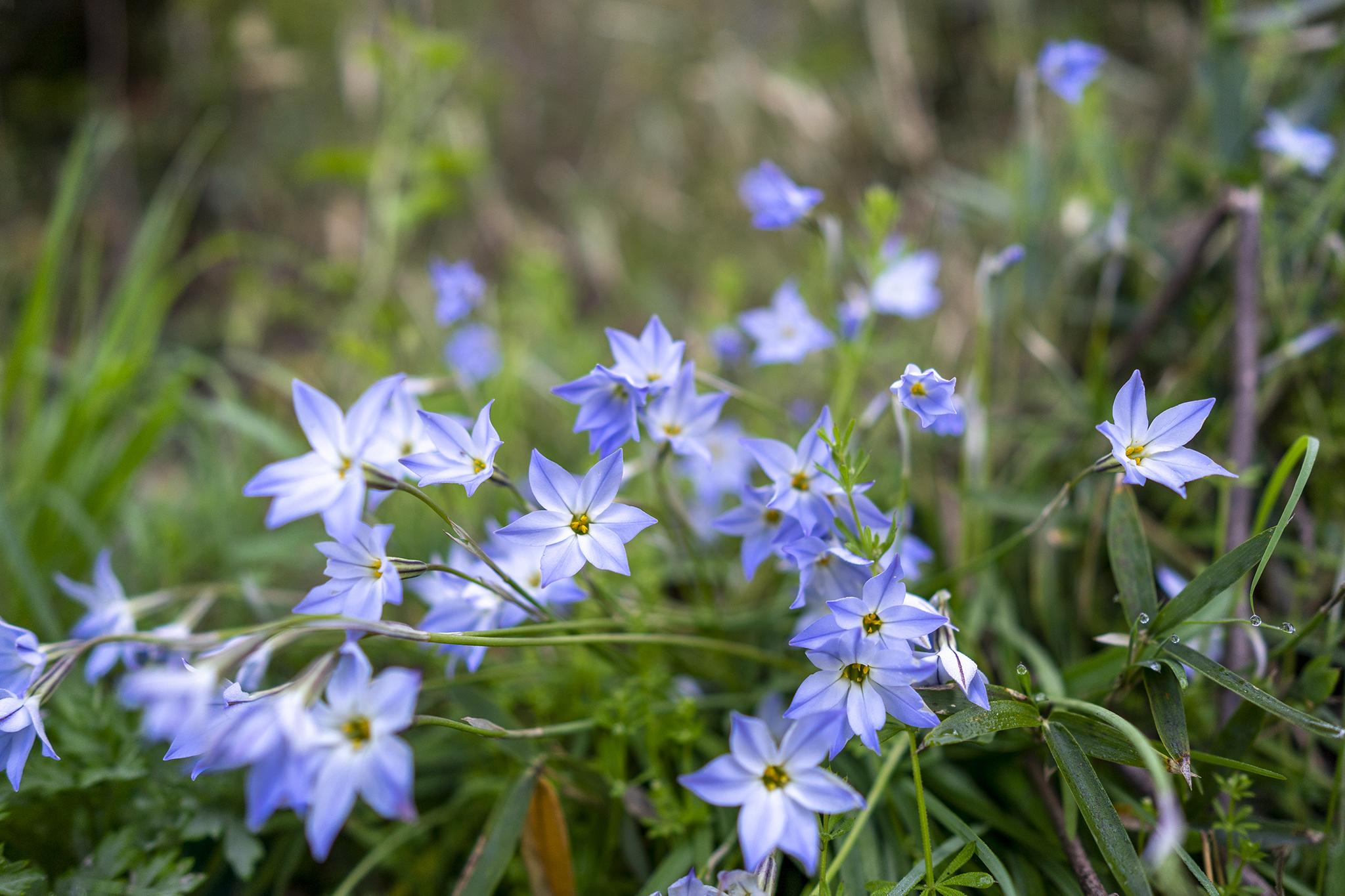 ハナニラの花言葉と誕生花