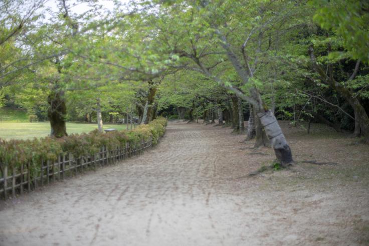 栗林公園の桜のトンネル