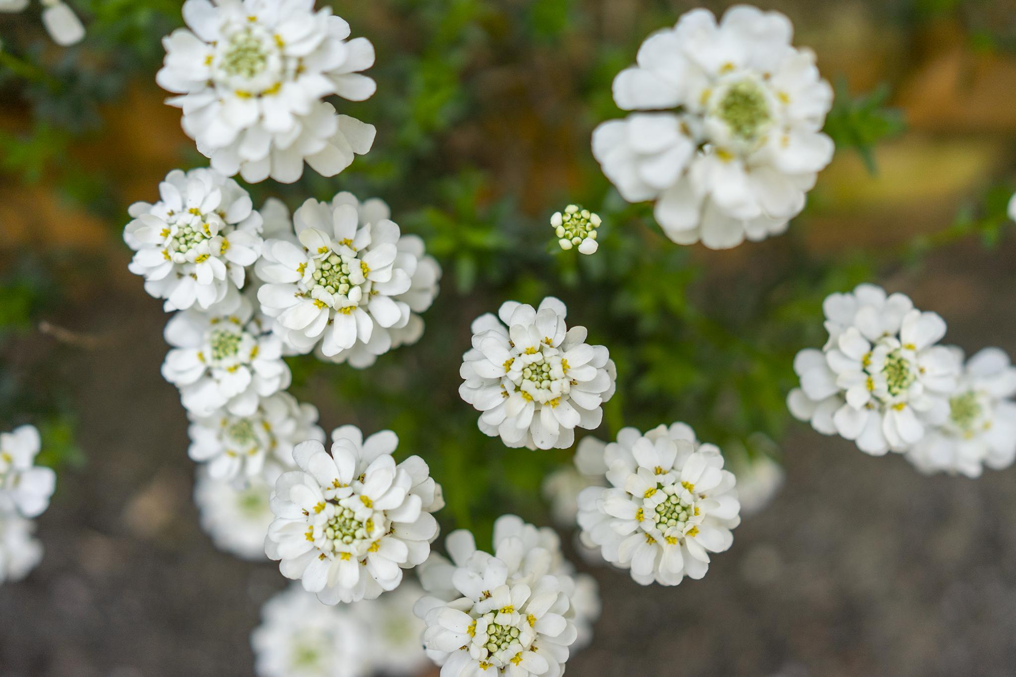 イベリスの花言葉と誕生花