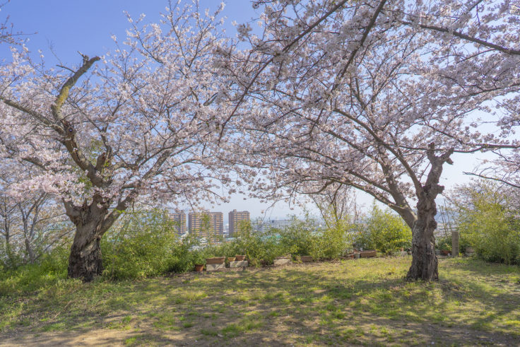峰山西方寺の桜