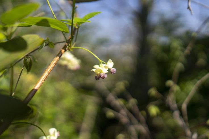 峰山のアケビの花