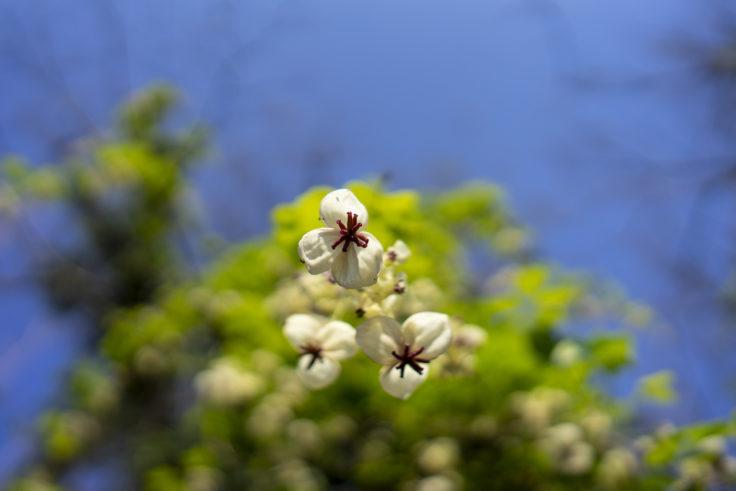 峰山のアケビの花2