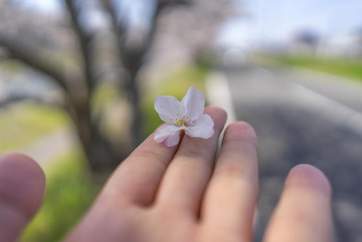 香東川の散った桜