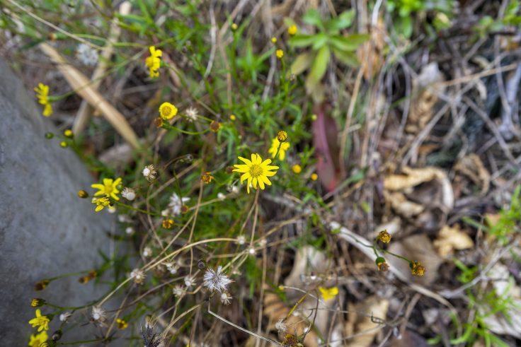 キク科の黄色い花
