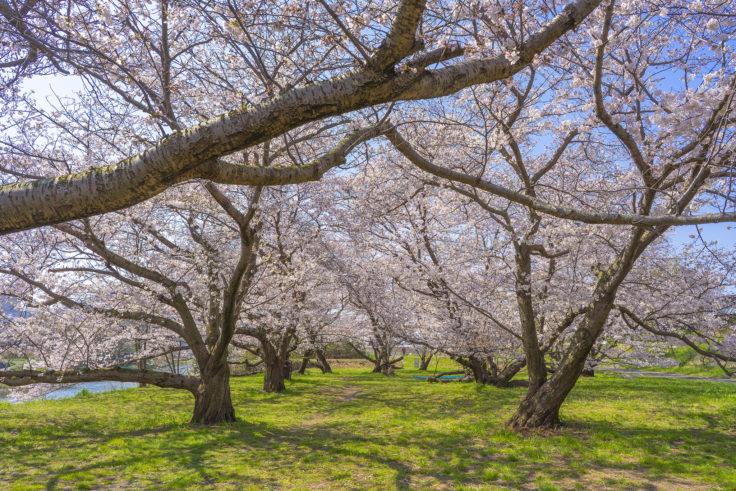 香東川の桜