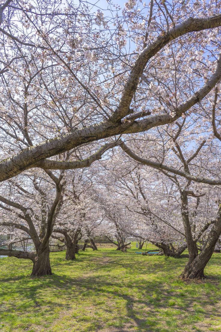 香東川の桜2