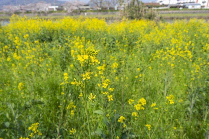 香東川の菜の花