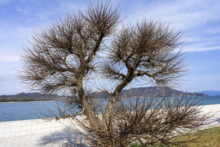 アメリカデイゴの枝
