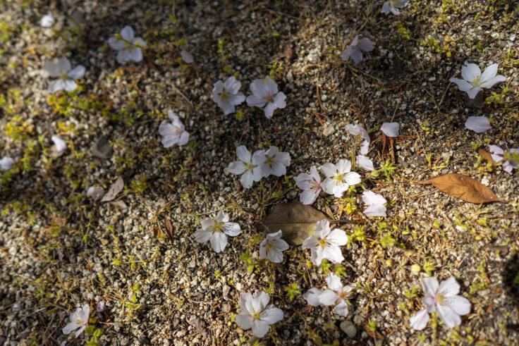 香東神社の散った桜